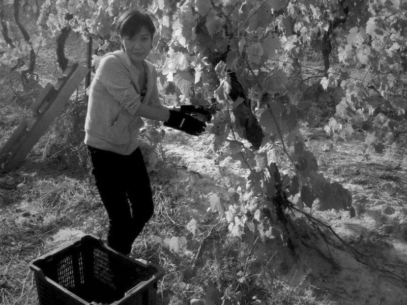 grapeharvest11