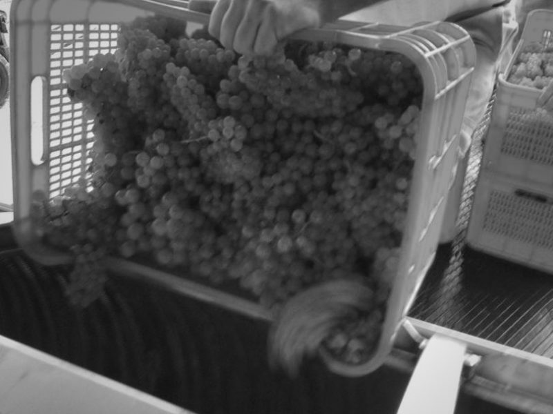 grapeharvest5