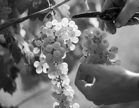 grapeharvest_miniature