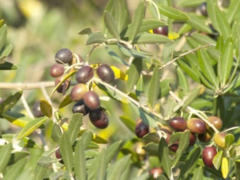 oliveharvest1