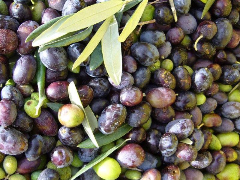 oliveharvest11