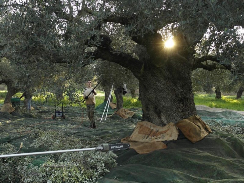 oliveharvest12