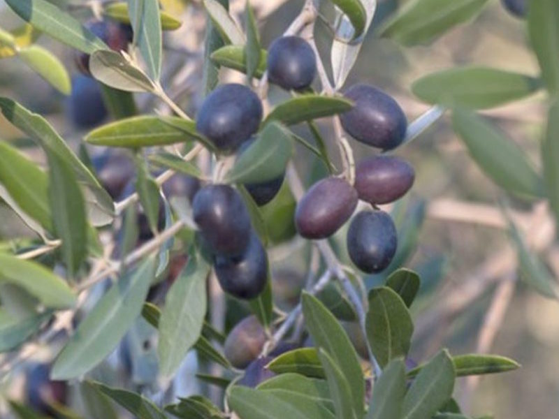 oliveharvest3