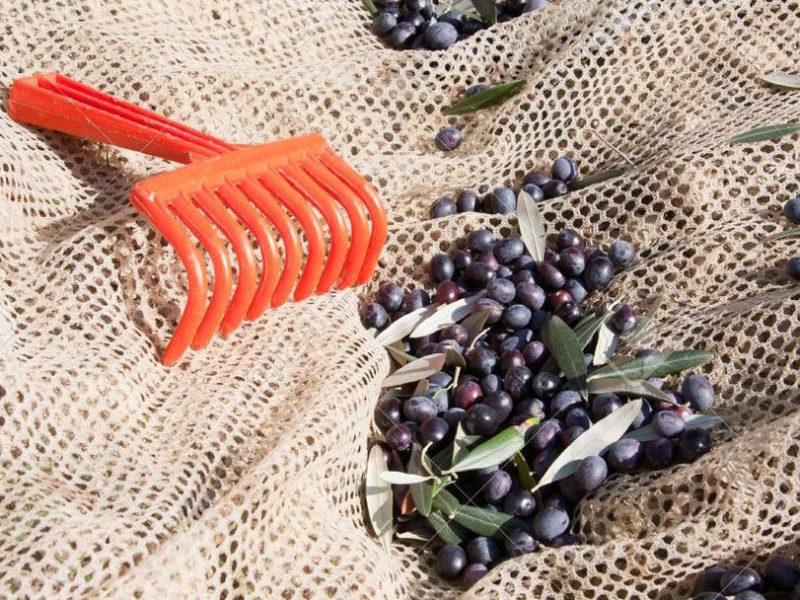 oliveharvest6