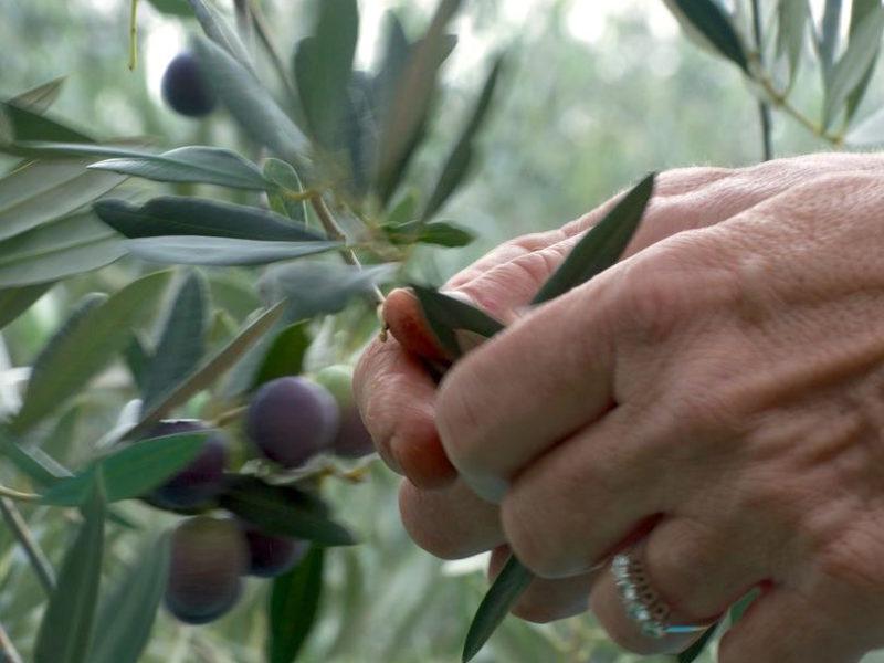 oliveharvest7