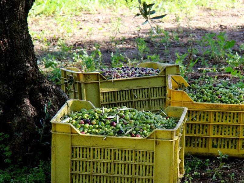 oliveharvest9