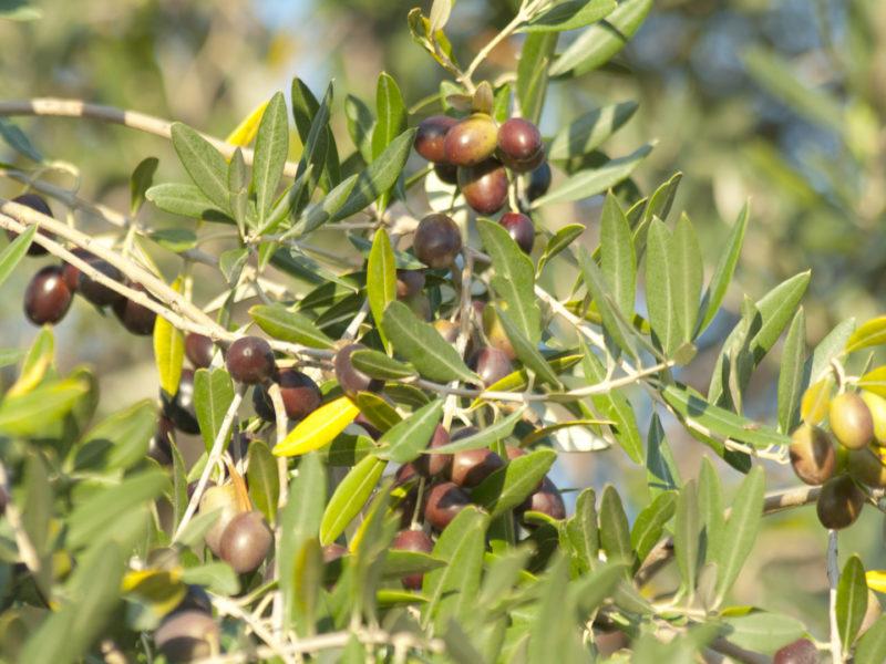 oliveharvest_miniature
